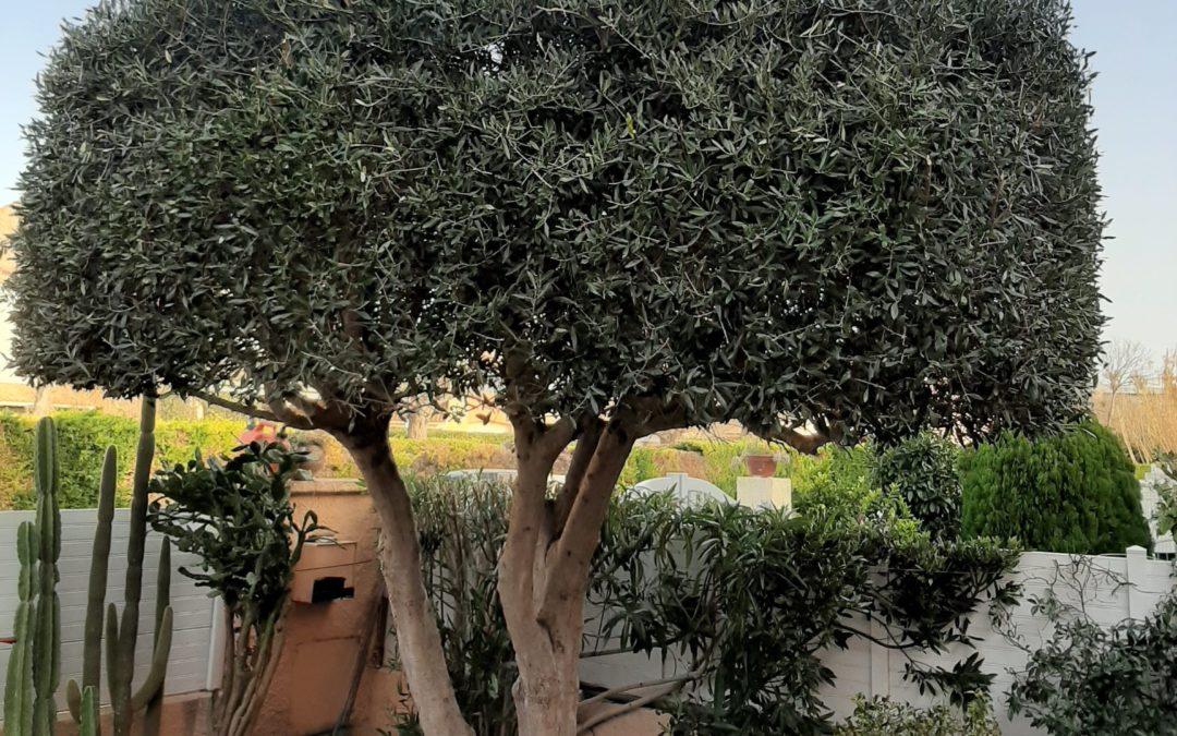 Taille d'un olivier