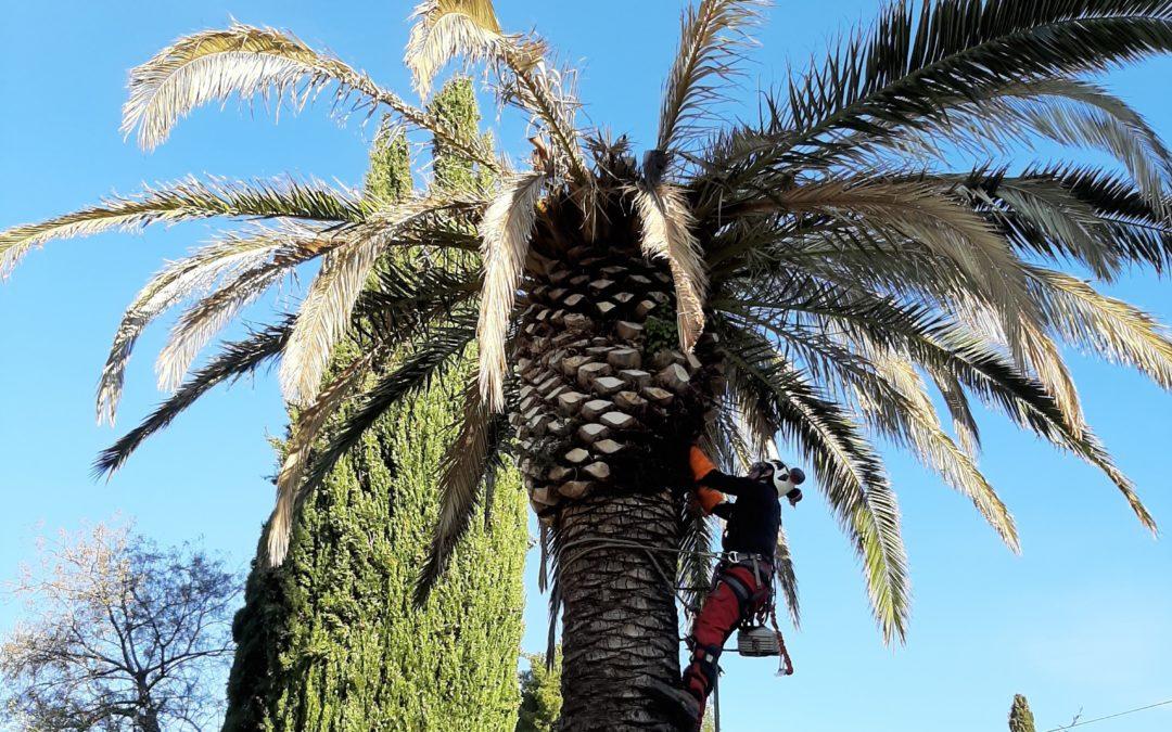 Curage d'un palmier Phœnix