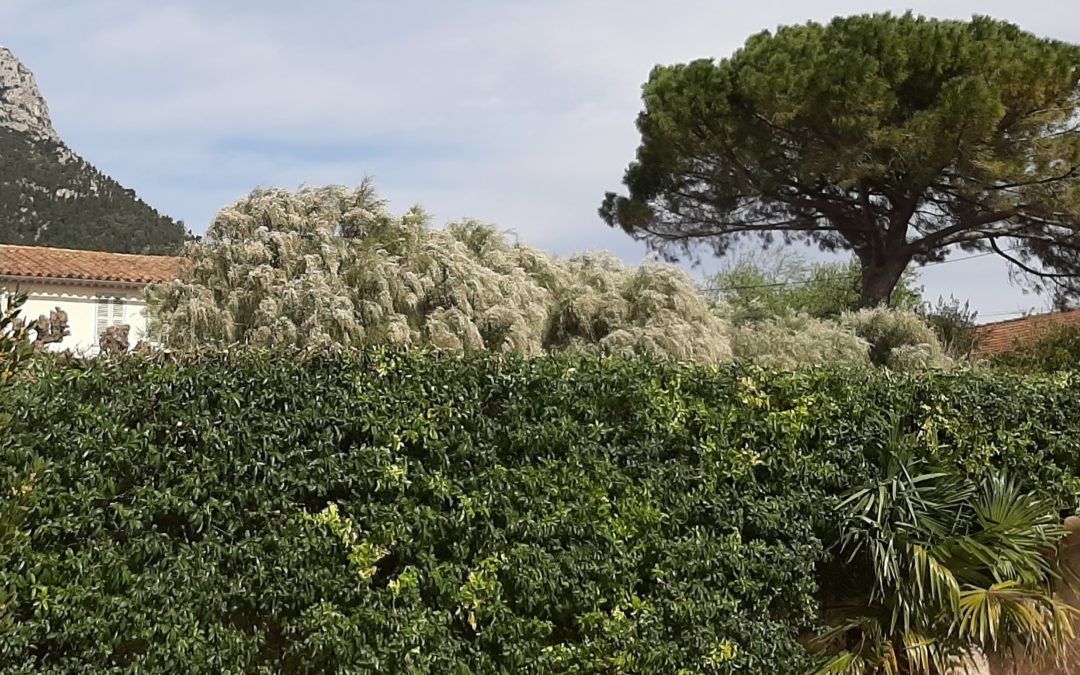 Taille d'une haie de Pyracantha